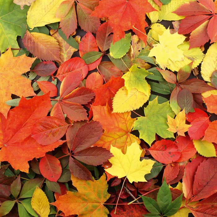 Fototapeta DIMEX Colourful Leaves L-481| 220 x 220 cm